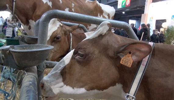 vache_prim_holstein_salon_agriculture