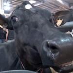 vache_prim_holstein_salon_agriculture1