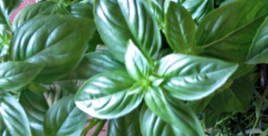 huile-au-basilic